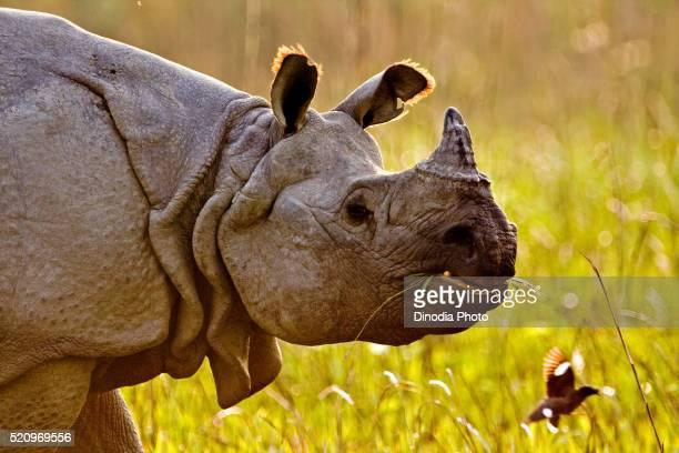 Asian one horn rhino rhinoceros unicornis, Kaziranga national park, Assam, India
