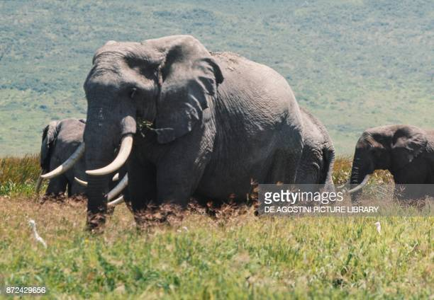 Asian or Asiatic Elephants Elephantidae