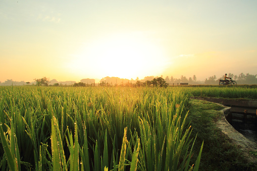 Asian paddy field - gettyimageskorea