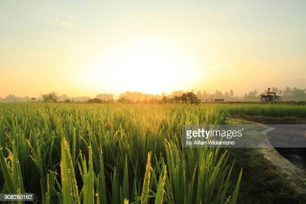 Asian paddy field
