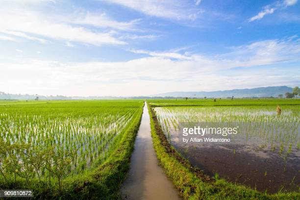 asian paddy field - java indonesia fotografías e imágenes de stock