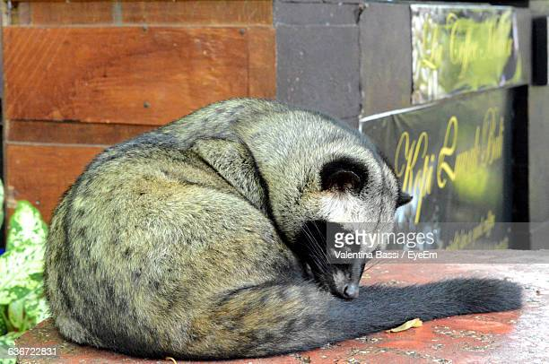 asian palm civet relaxing on table - civet cat stock photos and pictures