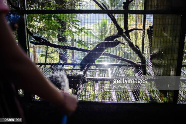 Asian palm civets in a cage at Kopi luwak farm and plantation in Ubud District Bali Indonesia on November 20 2018 Kopi luwak is coffee that includes...