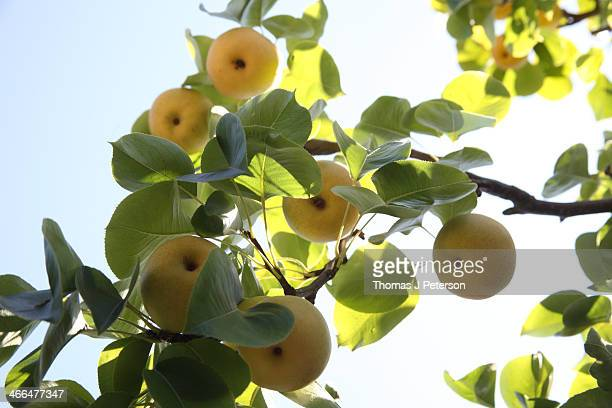 Asian pears hanging from tree branch