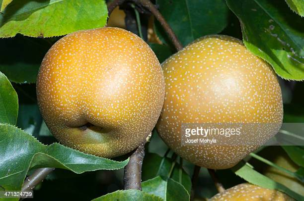 Asian pears on branch