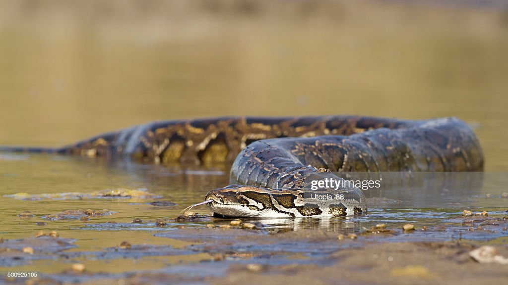 Asian Python in river in Nepal : Stock Photo