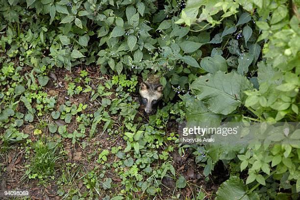 Asian racoon