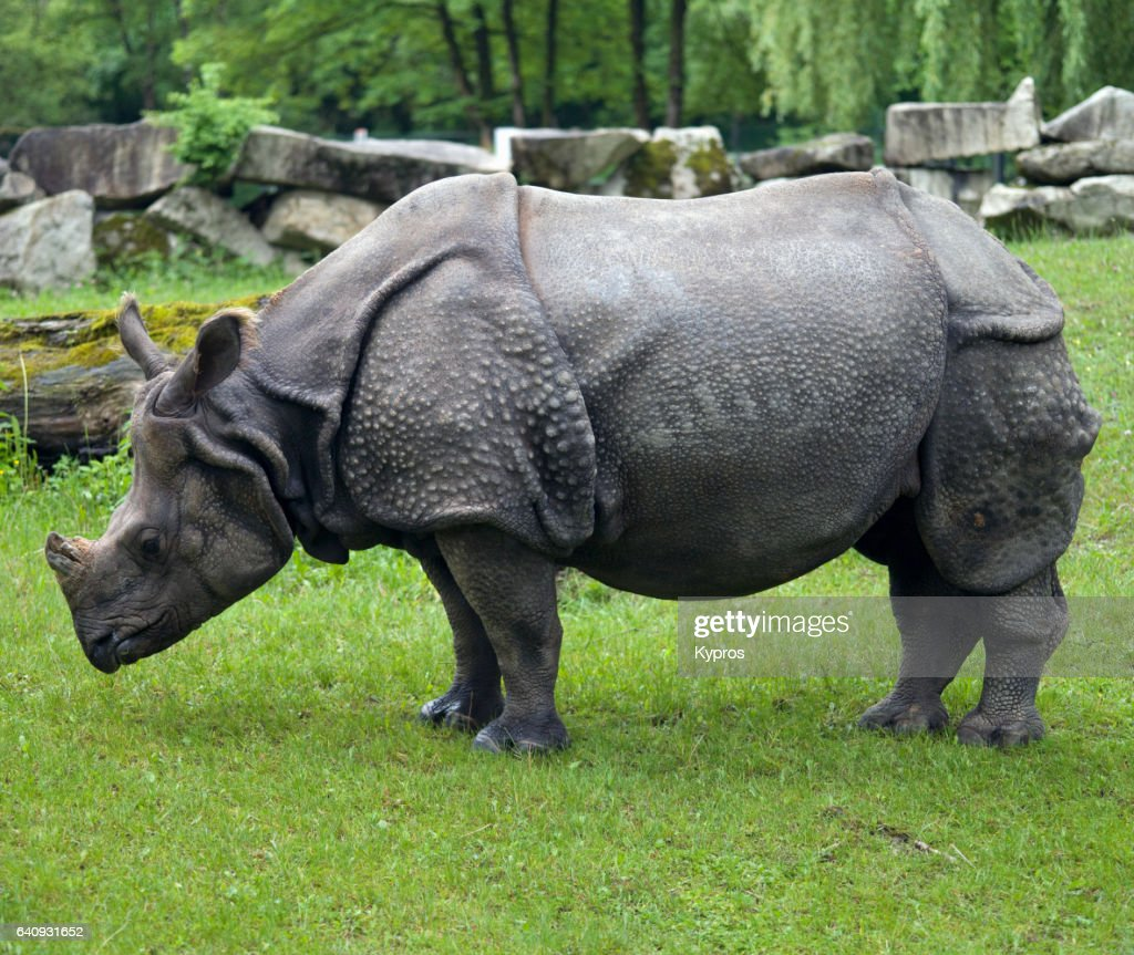 Asian Rhino : Stock Photo