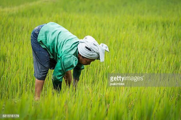 Femme âgée asiatique travaillant dans une ricefield