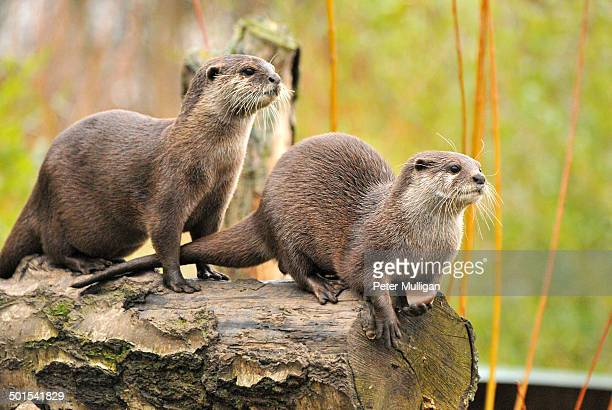 Asian short clawed otter pair