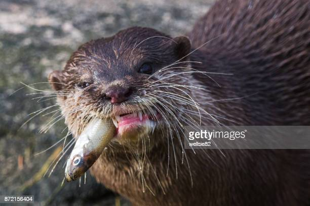 asian small-clawed otter chewing - lontra imagens e fotografias de stock