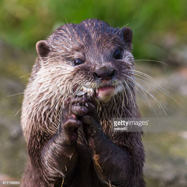 Asian small-clawed otter feeding itself