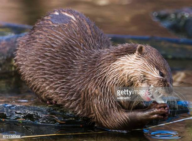 Asian small-clawed otter feeding on a rock