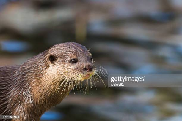 Asian small-clawed otter on the waters edge