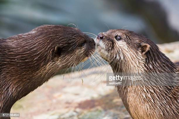 Asian small-clawed otter pair