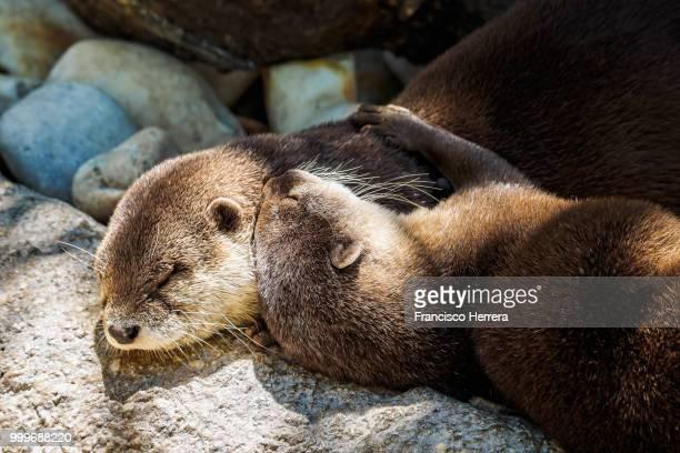Asian small-clawed otters cuddling - Aonyx cinerea