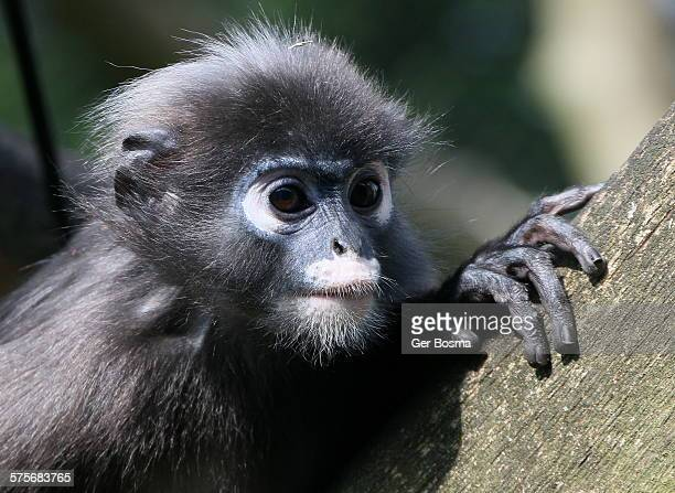 Asian Spectacled langur