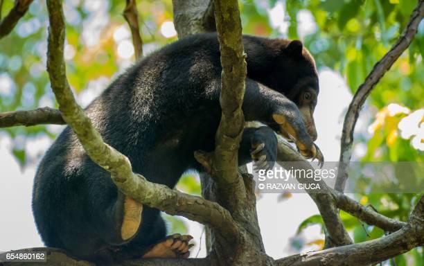 Asian sun bear (Helarctos malayanus)