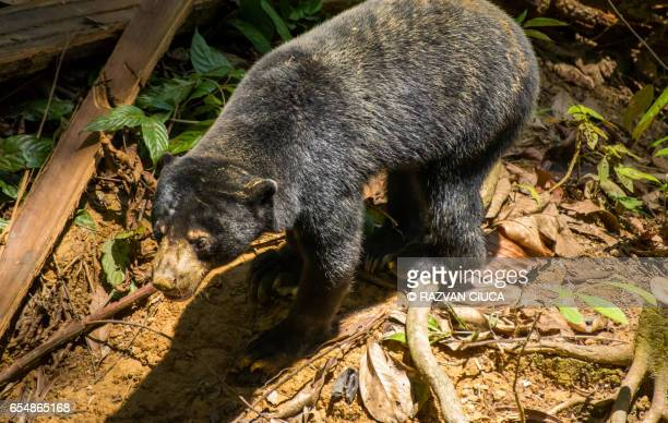 Asian sun bear (Helarctos malayanus)