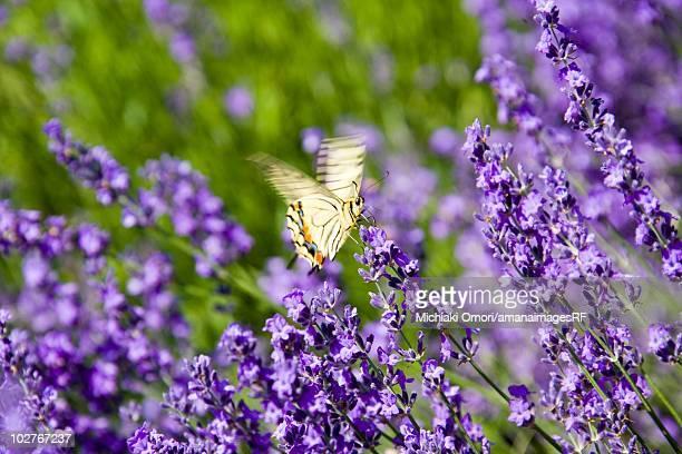 Asian Swallowtail butterfly landing on lavender