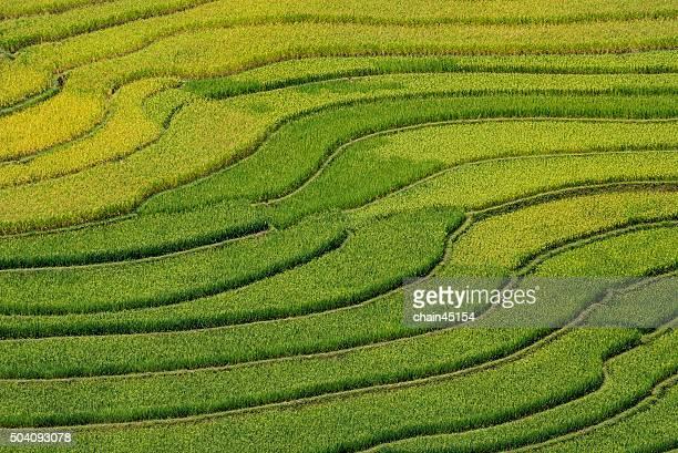 Asian Terraced Rice Field in vietnam