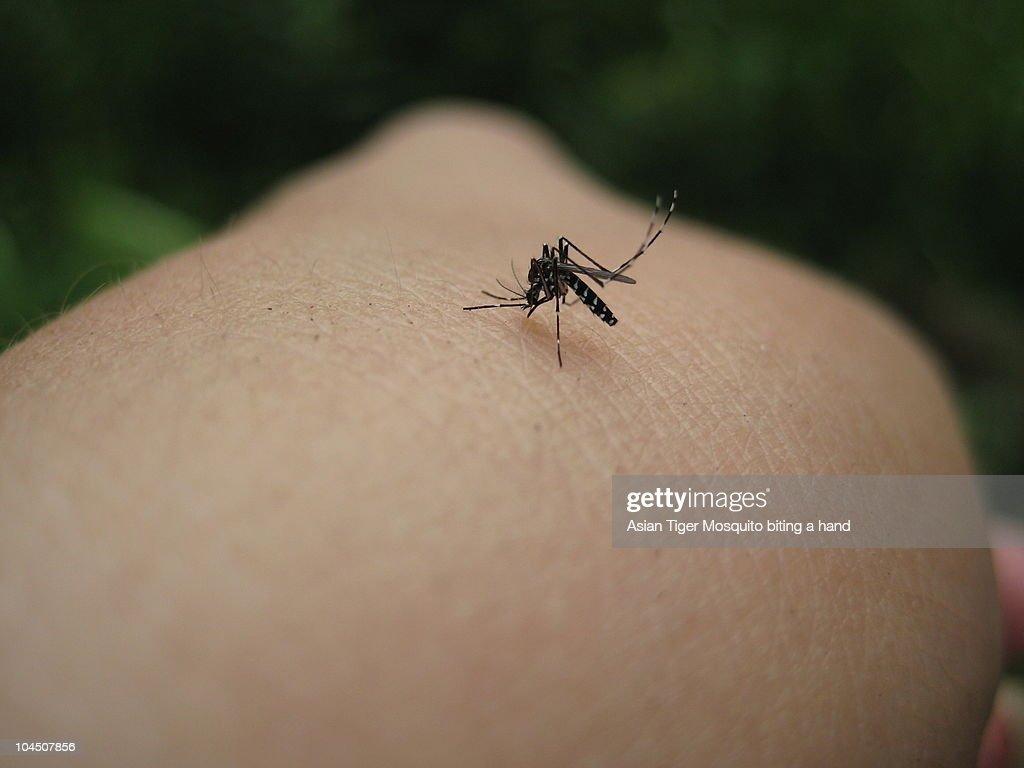 Asian Tiger Mosquito : Stock Photo