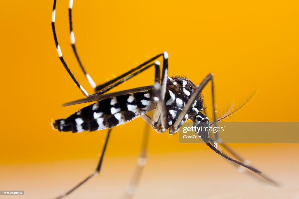 Asian Tiger Mosquito (Aedes albopictus) : Stock Photo
