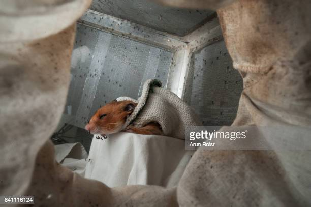 asian tiger mosquitoes biting  guinea pig in the laboratory. - zika stock photos and pictures