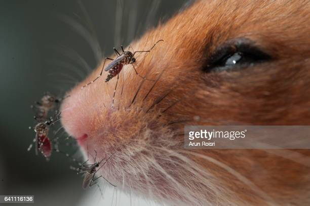 Asian tiger mosquitoes biting  guinea pig in the laboratory.