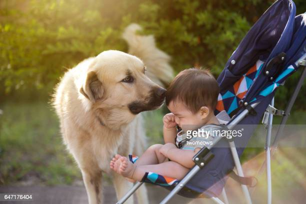 asian toddler baby sniffed by a dog in stroller. - close to stock pictures, royalty-free photos & images