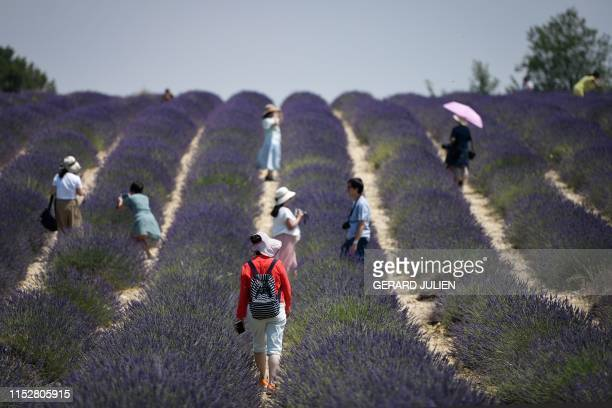 Asian tourists take pictures as they walk across a lavender field in Valensole southeastern France on June 29 2019 French lavender farms are a...