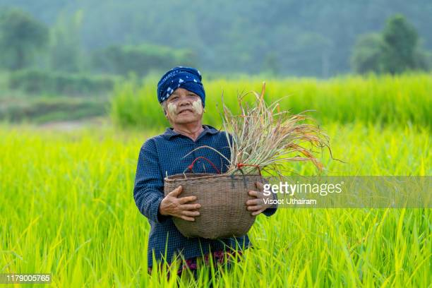 asian traditional farmer planting or working in rice field - southeast stock pictures, royalty-free photos & images