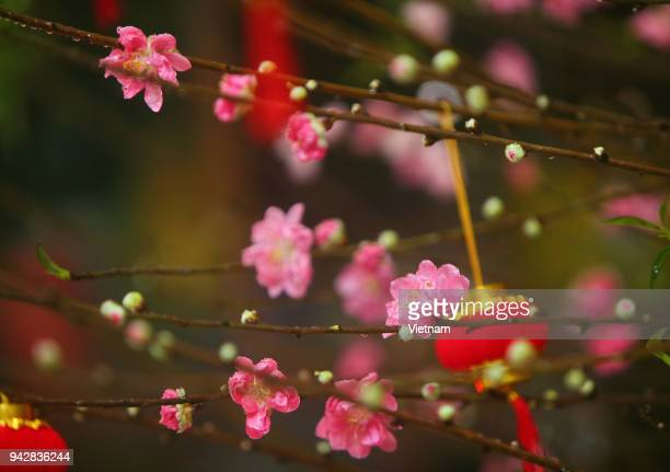 asian traditions on lunar new year - peach blossom stock pictures, royalty-free photos & images