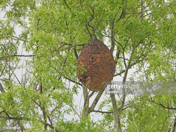 asian wasp nest - murder hornet stock pictures, royalty-free photos & images