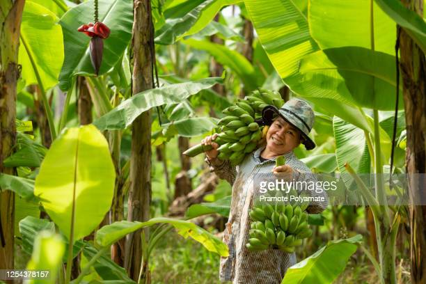 asian woman farmer bearing green banana in farm. agriculture concept. - banana tree stock pictures, royalty-free photos & images