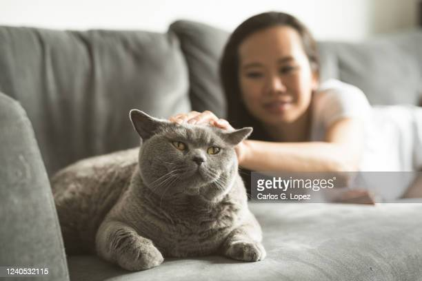 asian woman lying down on sofa strokes her british short hair cat - british shorthair cat stock pictures, royalty-free photos & images
