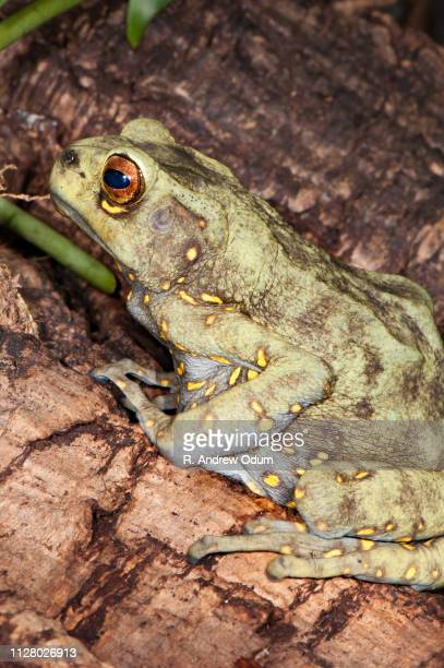 Asian Yellow-Spotted Climbing Toad