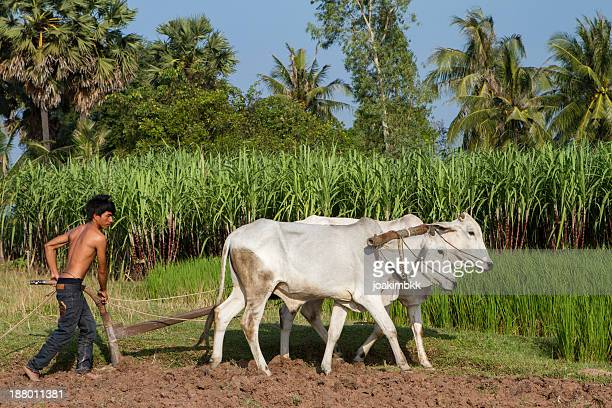 asian young farmer working the field - wild cattle stock photos and pictures