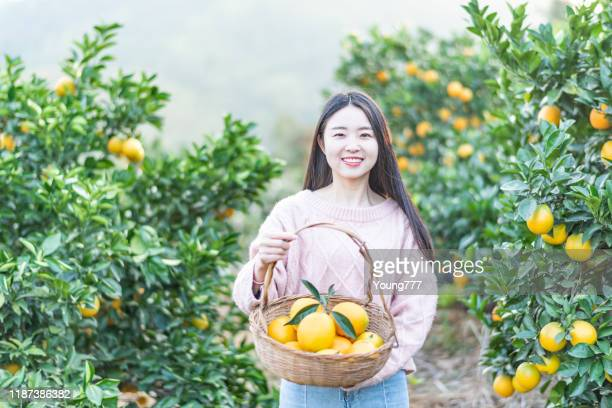 果樹園でオレンジを摘むアジアの若い女性 - 果樹園 ストックフォトと画像