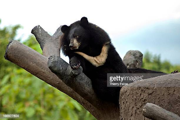 Asiatic Black Bear at the Kao Look Chang Wildlife Rescue Center The center was founded by Edwin Wiek of Holland in 2001 and is part of the Wildlife...
