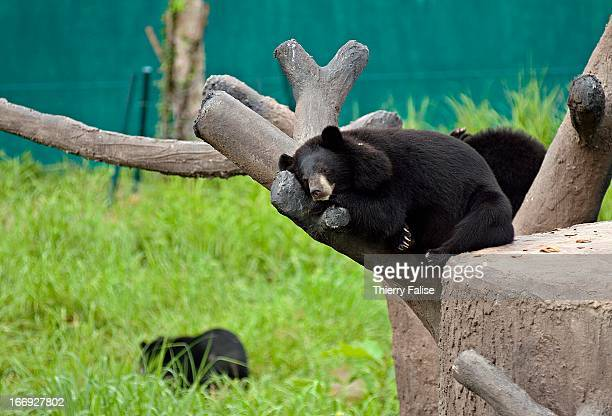 Asiatic Black Bears at the Kao Look Chang Wildlife Rescue Center The center was founded by Edwin Wiek of Holland in 2001 and is part of the Wildlife...