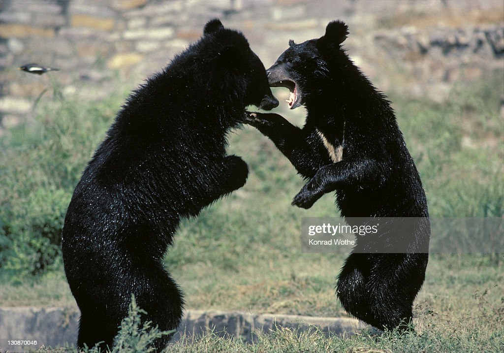 asiatic black bears fighting asia ストックフォト getty images