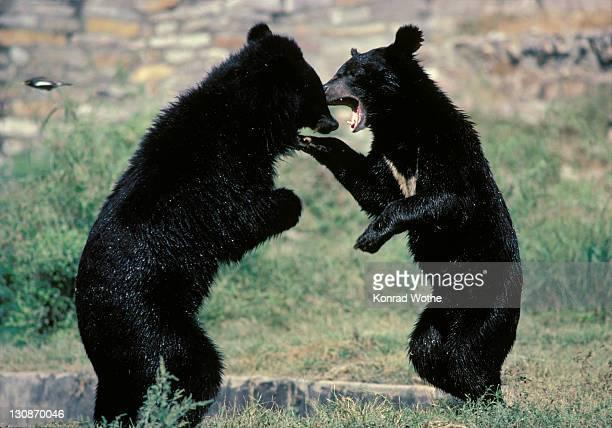 Asiatic Black Bears (Ursus thibetanus) fighting, Asia