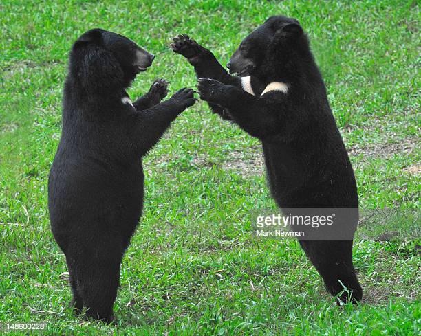Asiatic Black Bears or Moon Bears (Ursus thibetanus) at Animals Asia Foundation Sanctuary, Tam Dao National Park.