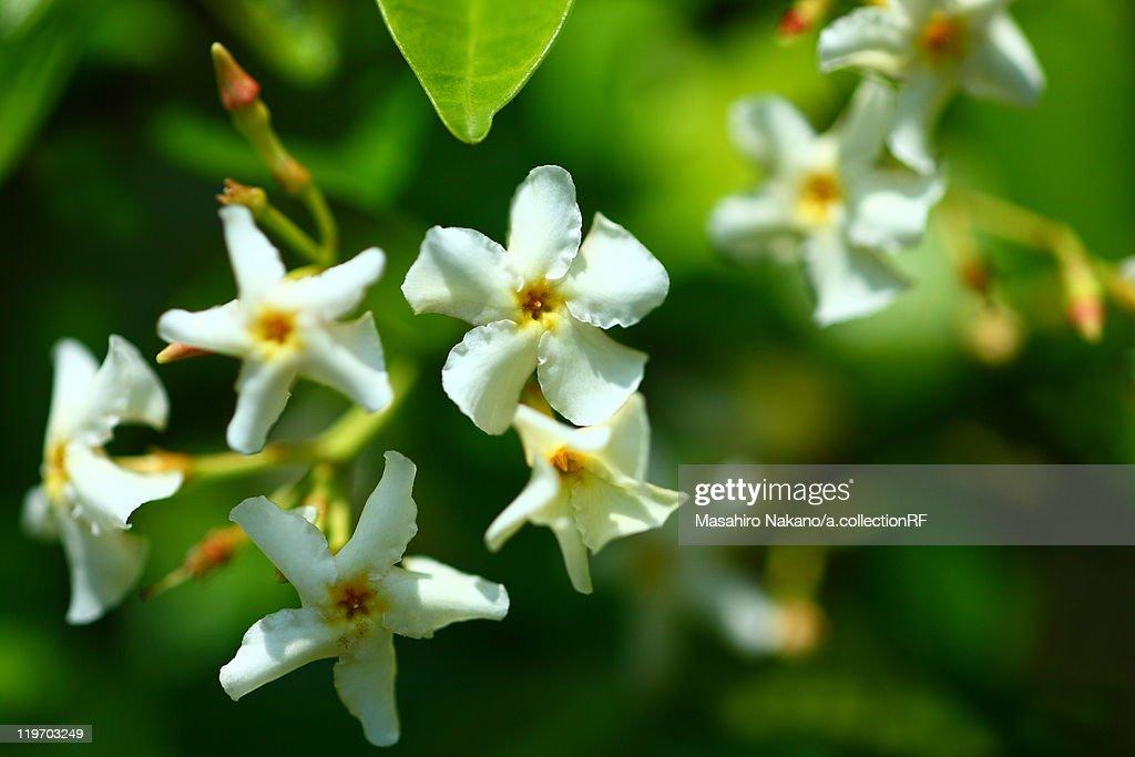 Asiatic Jasmine (Trachelospermum asiaticum) : Stock Photo