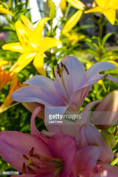 Asiatic Lillies Close-Up