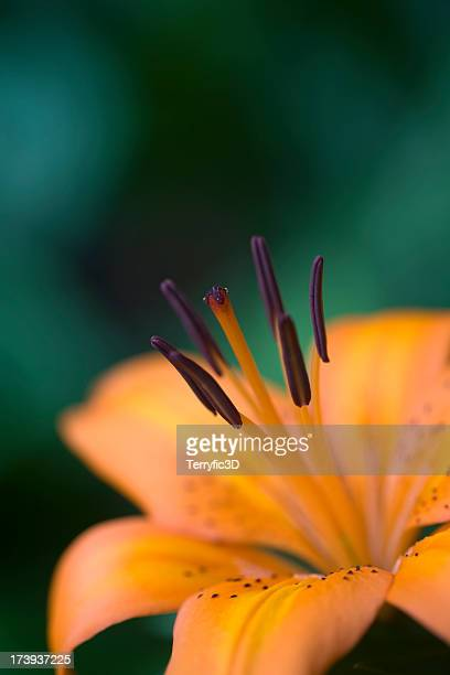 asiatic lily, lilium 'orange pixie' - terryfic3d stock pictures, royalty-free photos & images