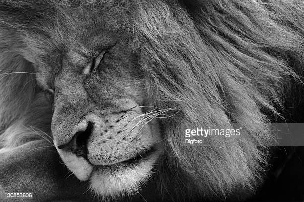 Asiatic Lion (Panthera leo persica), male, black-white portrait