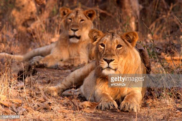 asiatic lion (panthera leo persica) - gujarat stock pictures, royalty-free photos & images