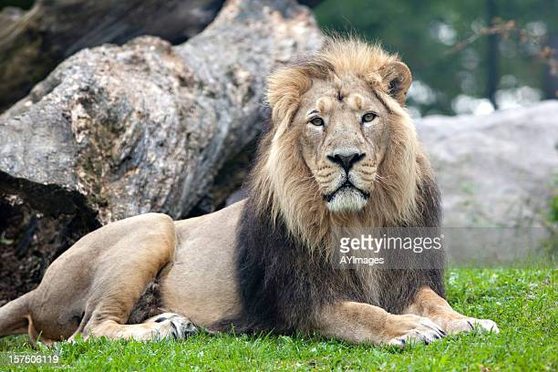 Asiatic Lion (Panthera leo persica)